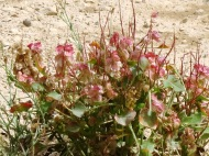 Wadi Hanifah is full of beautiful fauna such as these pink flowers which always bloom after a rainstorm