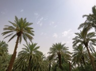Date trees are an ever-present in Diriyah and provide both beauty and shade